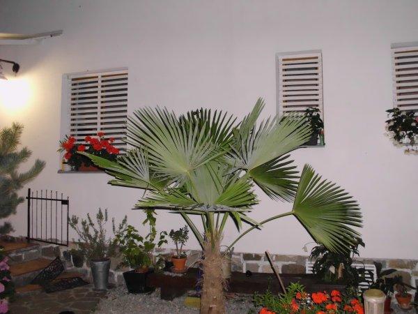 naše palma