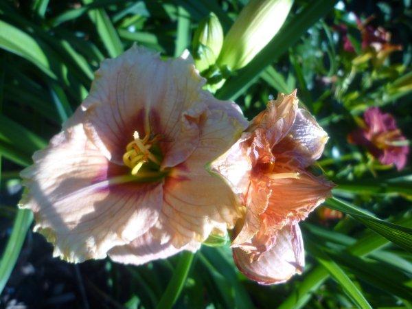 právě kvetou denivky