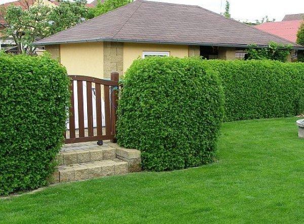 Živý plot z meruzalky
